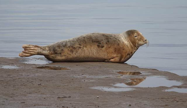 Seal at Greatham Creek