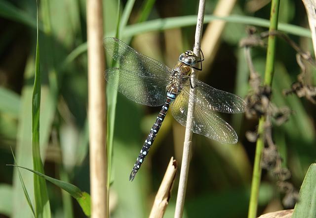 Saltholme Dragonfly
